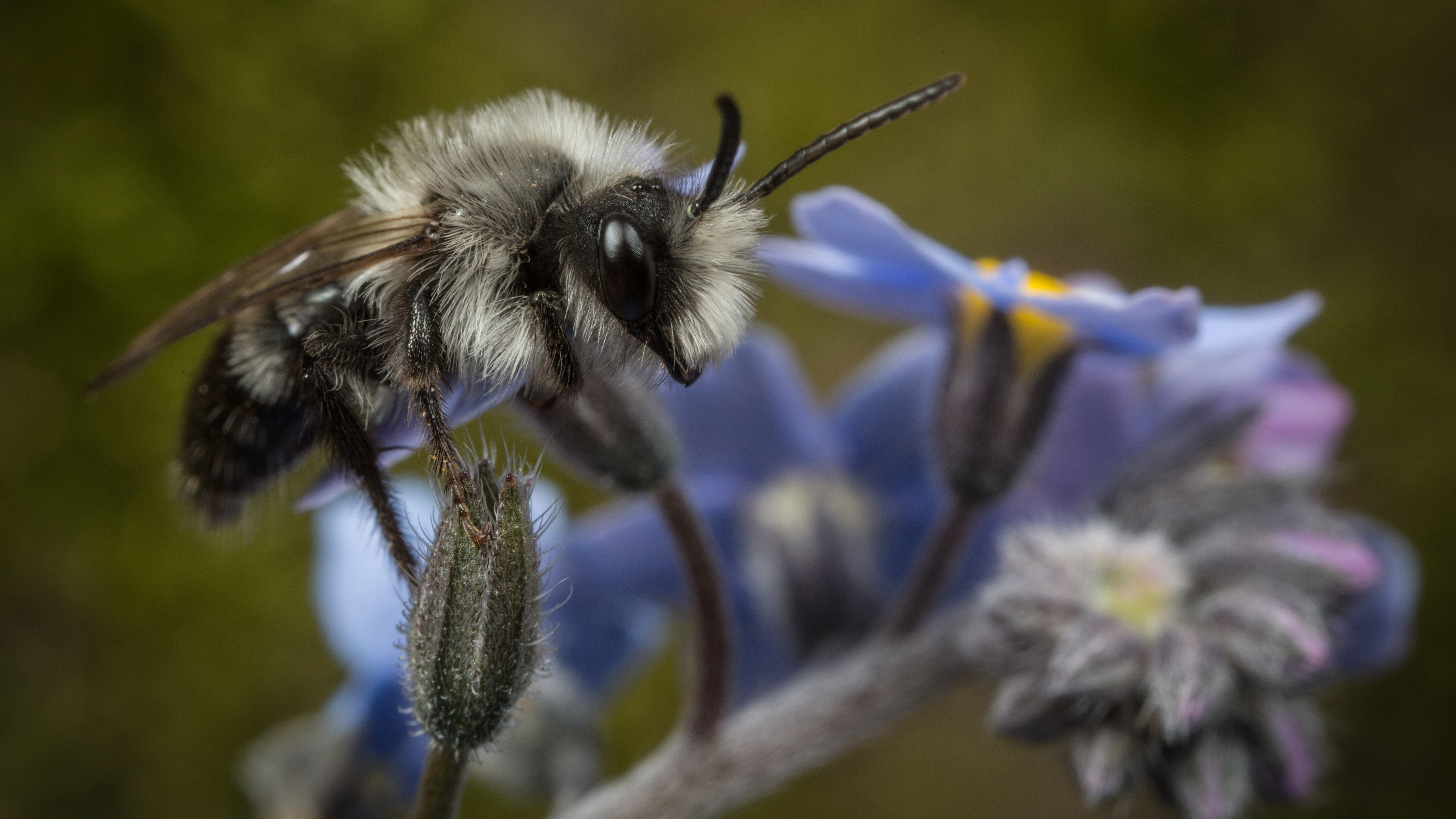 Attract Bees - Attract mining bee - Male Ashy Mining-bee (Andrena cineraria)