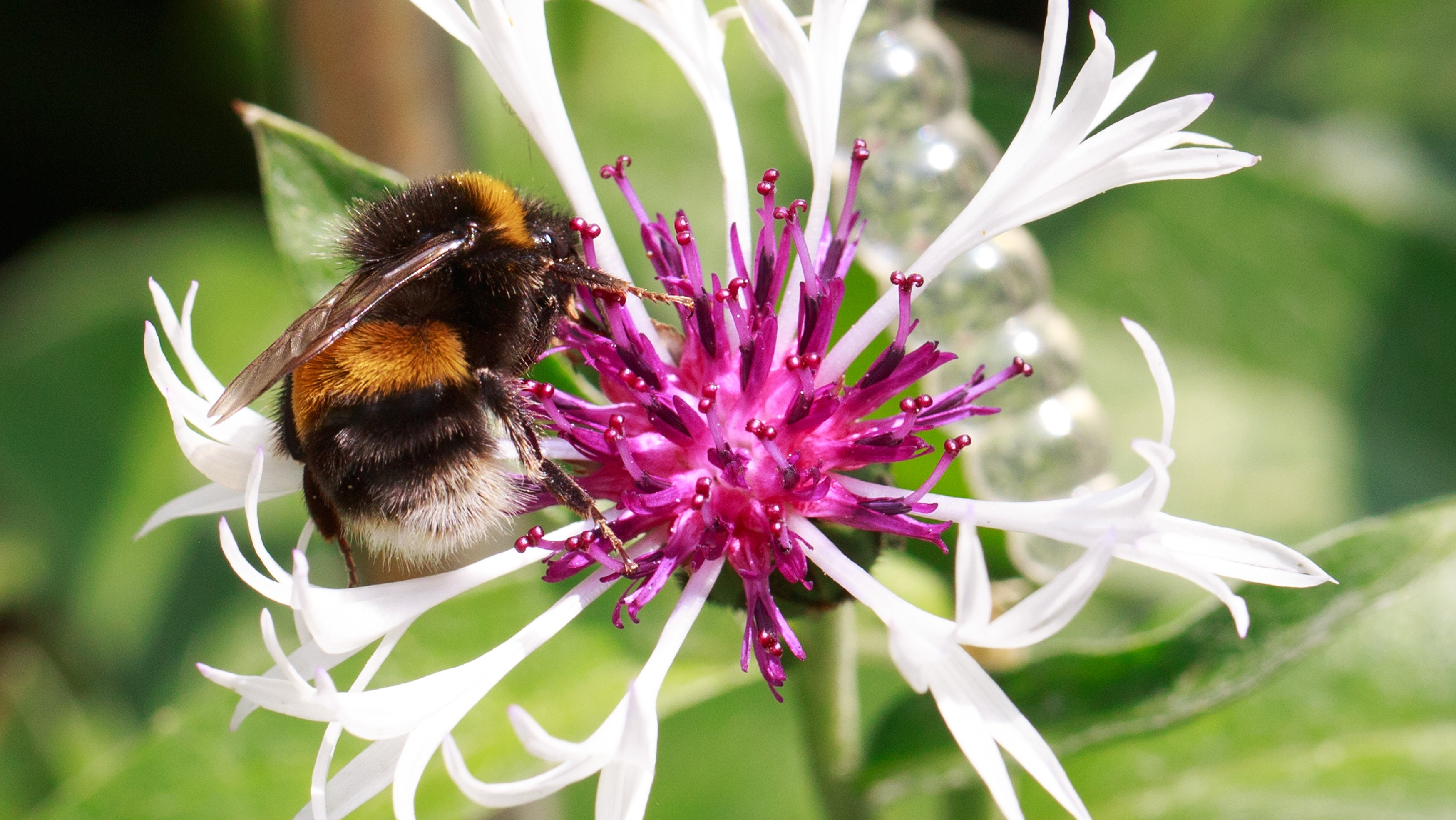Attract Bees - Attract bumble bees - Buff Tailed Bumble bee