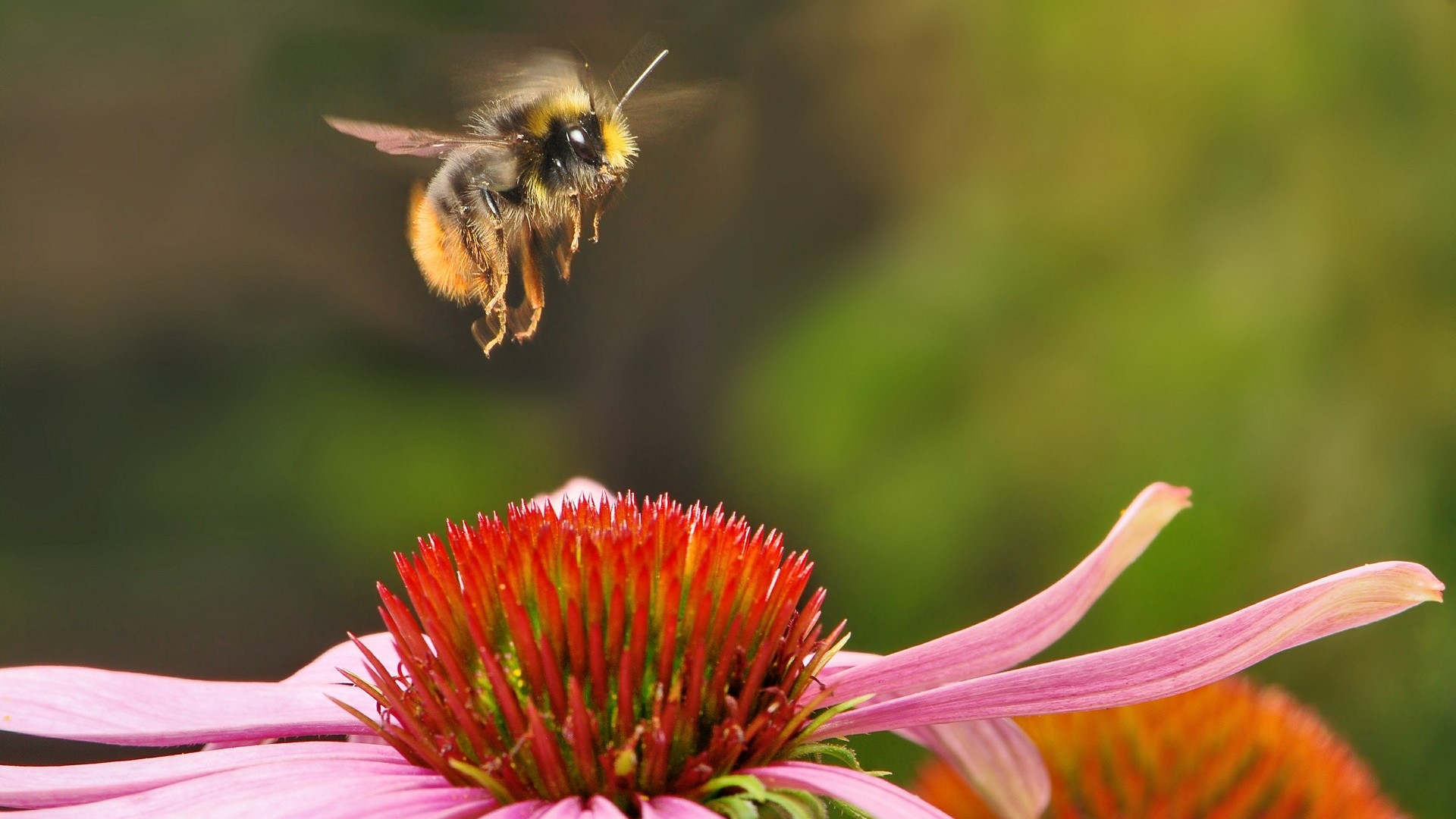 Attract Bees - Attract bumble bees - Early Bumblebee