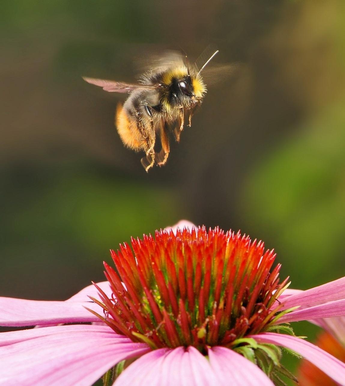 Attract Bees - Attract bumblebees - Bumblebee - Early Bumblebee