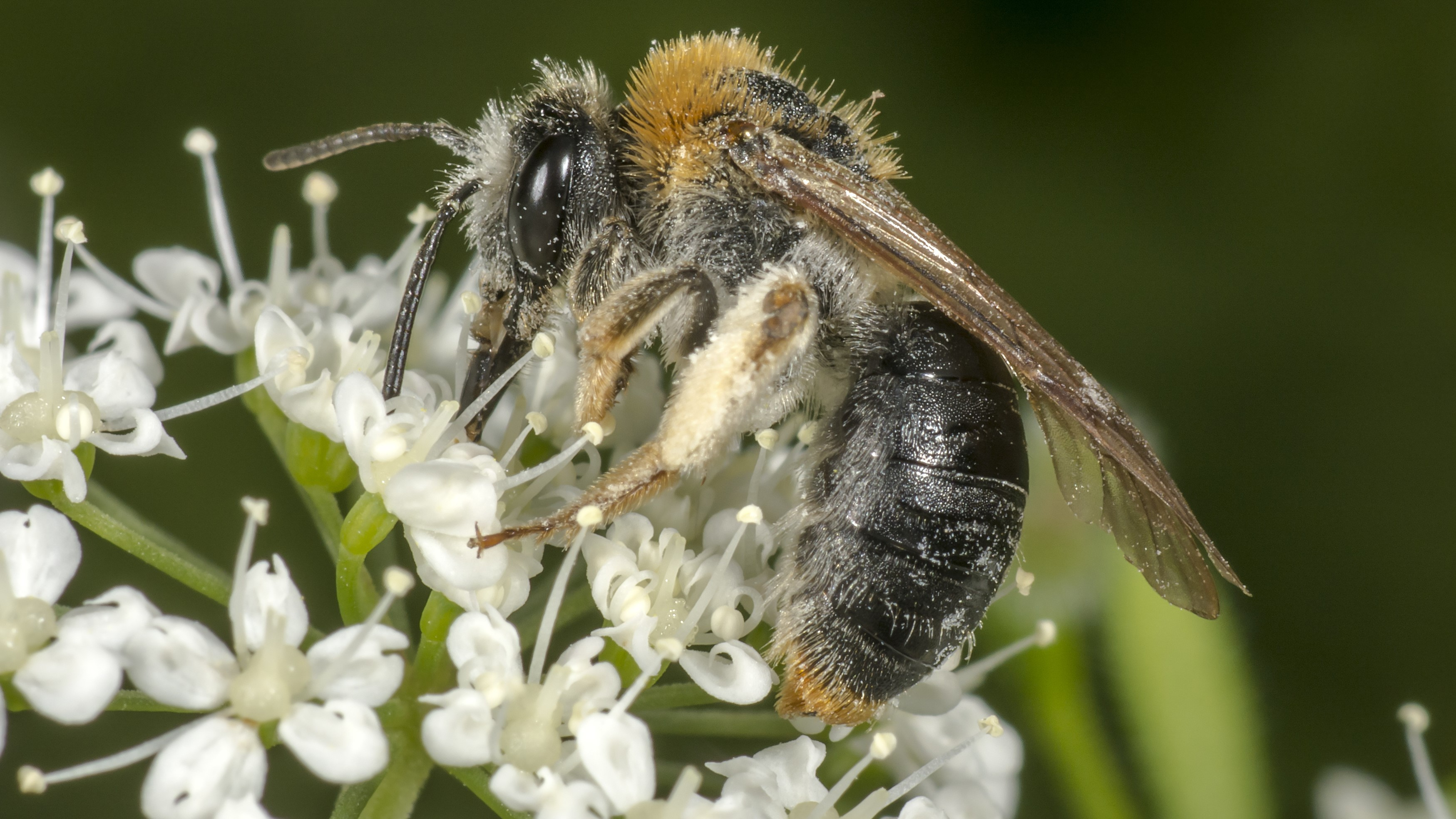 Attract Bees - Attract mining bees - Early Mining Bee
