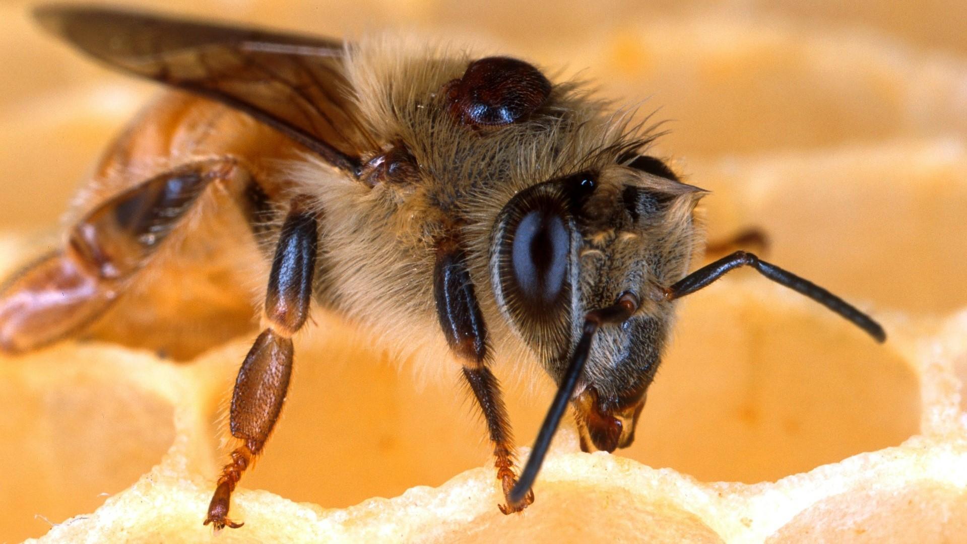 Attract Bees - Attract honey bees - honey bee 2