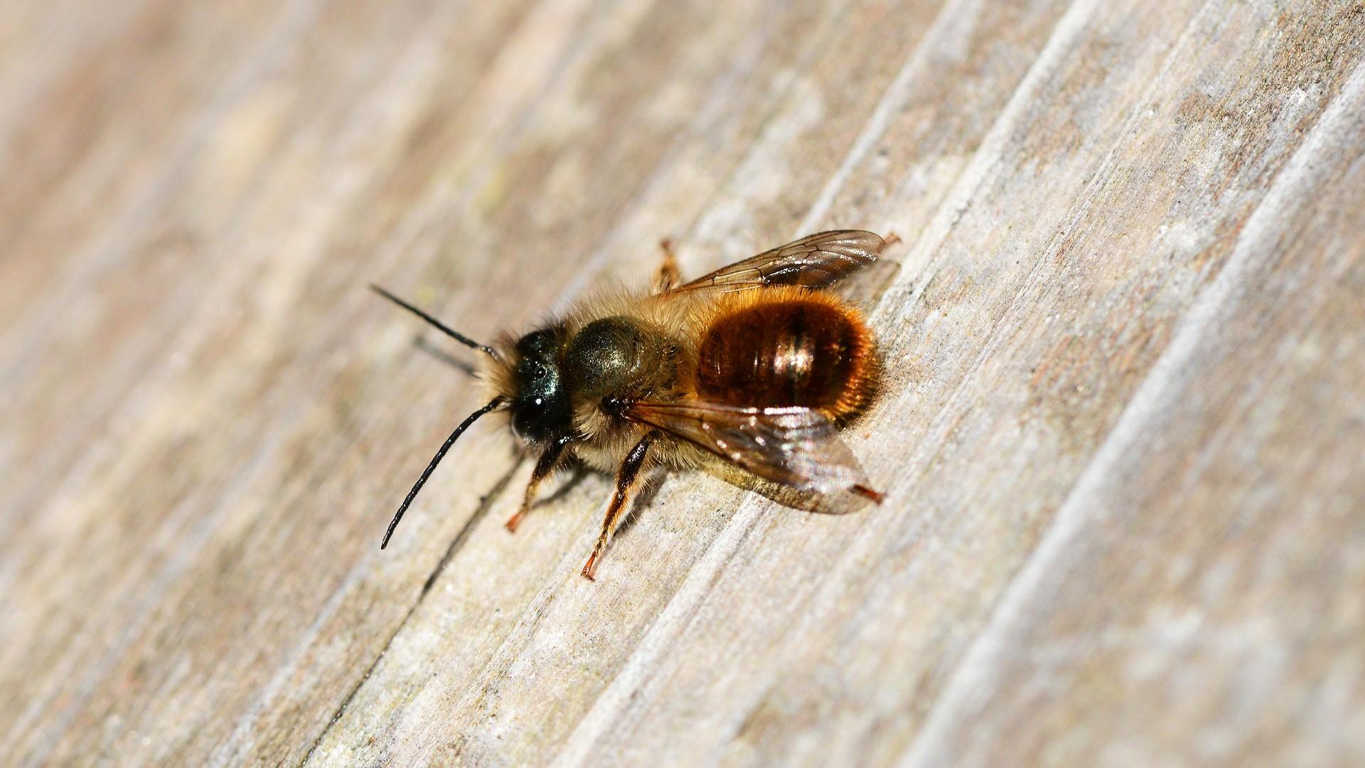Attract Bees - Attract mason bees - Red Mason Bee