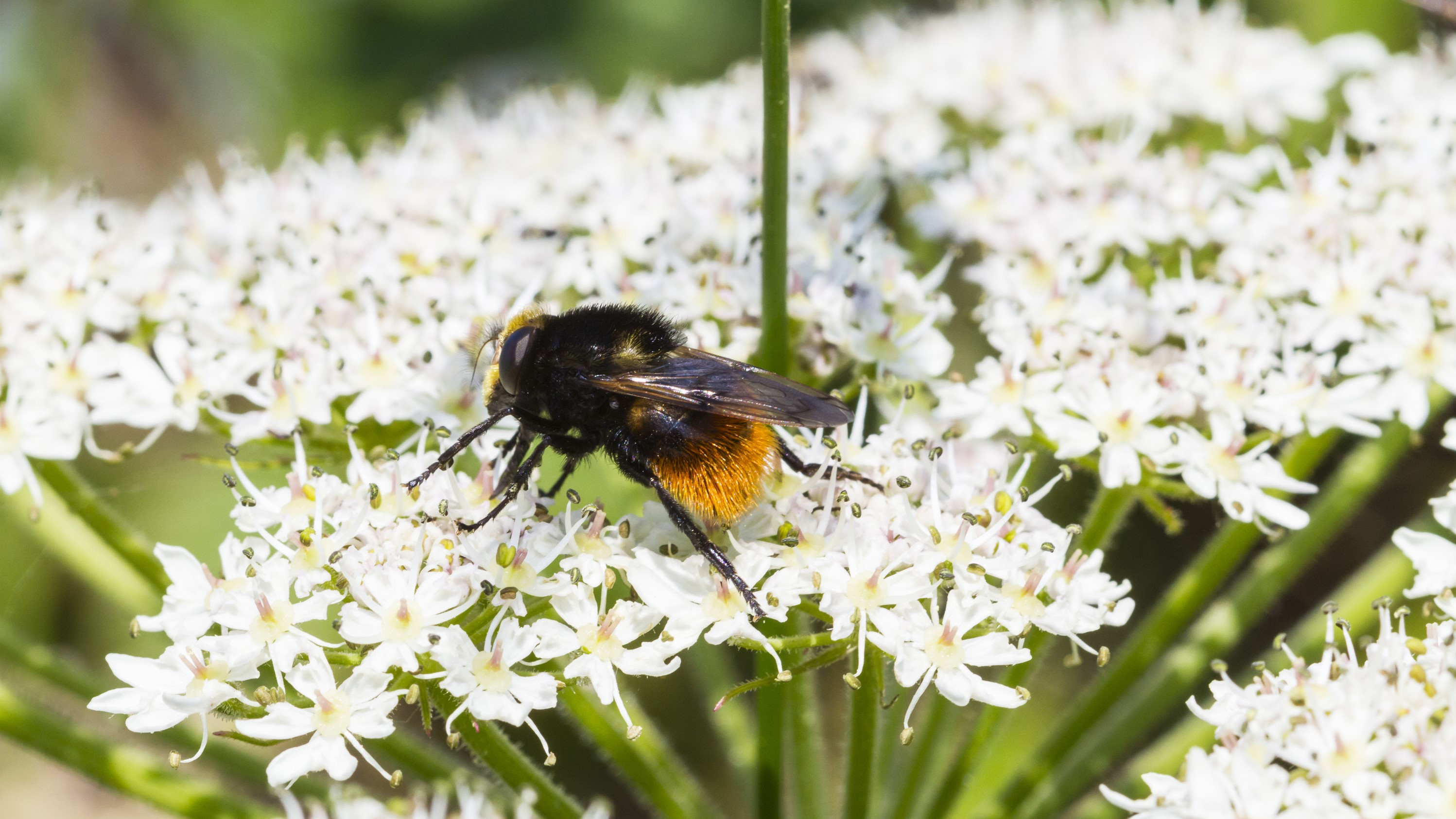 Attract Bees - Attract bumblebees - Red-Tailed-Bumble-Bee. (Bombus lapidarius)