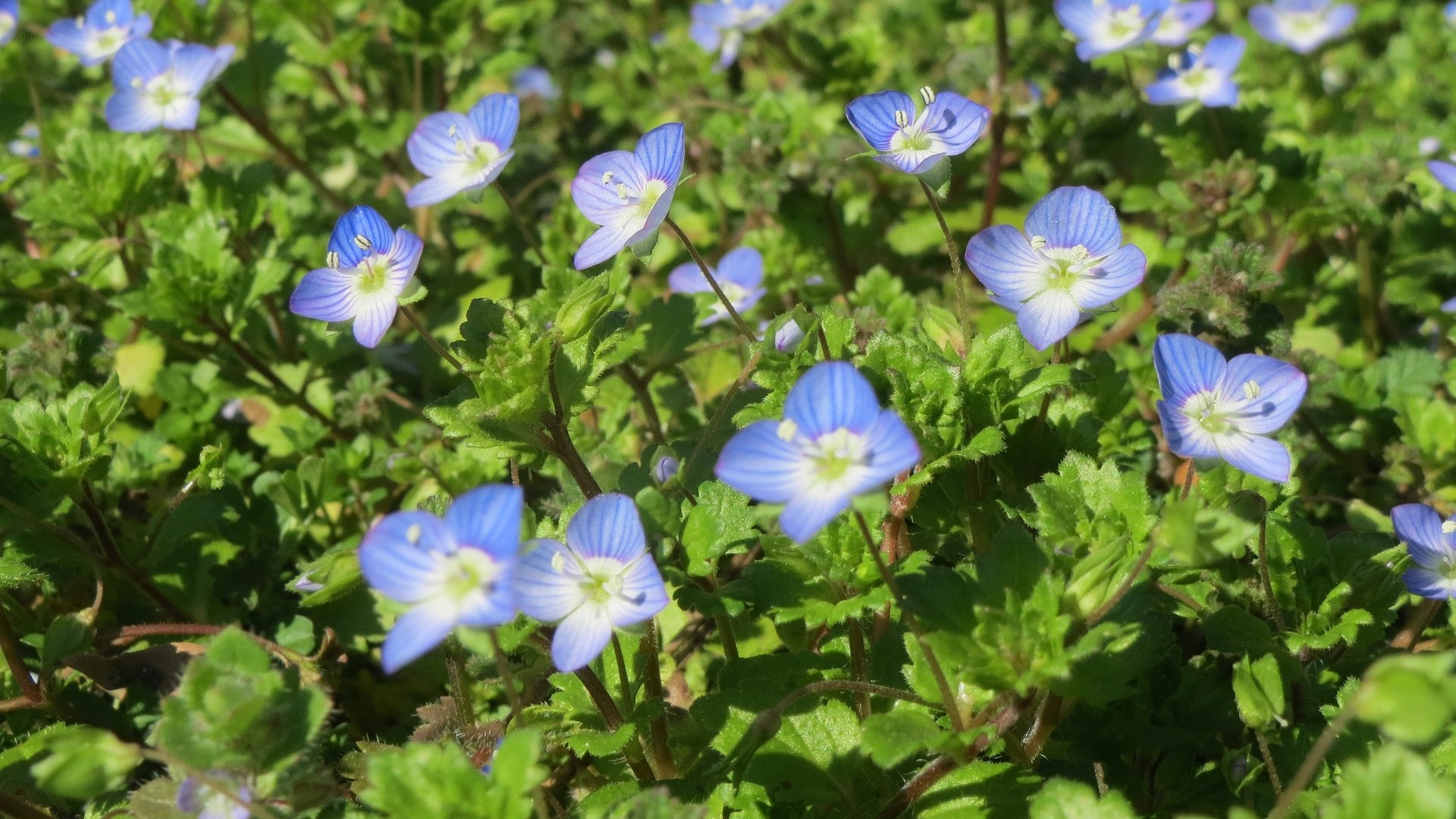 Attract Bees - flower - Speedwell