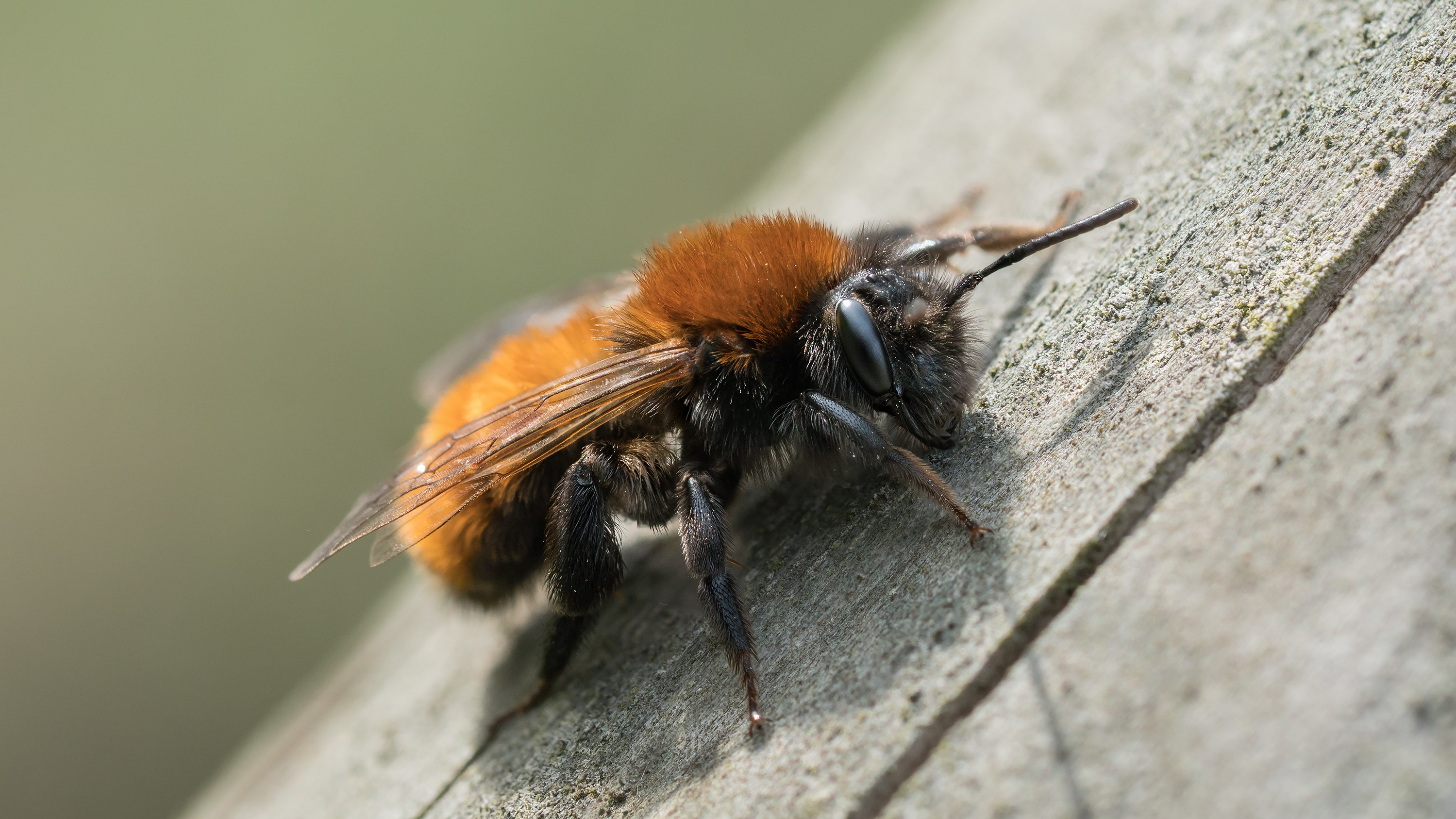 Attract Bees - Attract mining bees - tawny mining bee