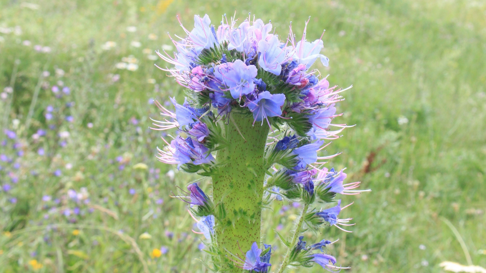 Attract Bees - flower - Viper bugloss
