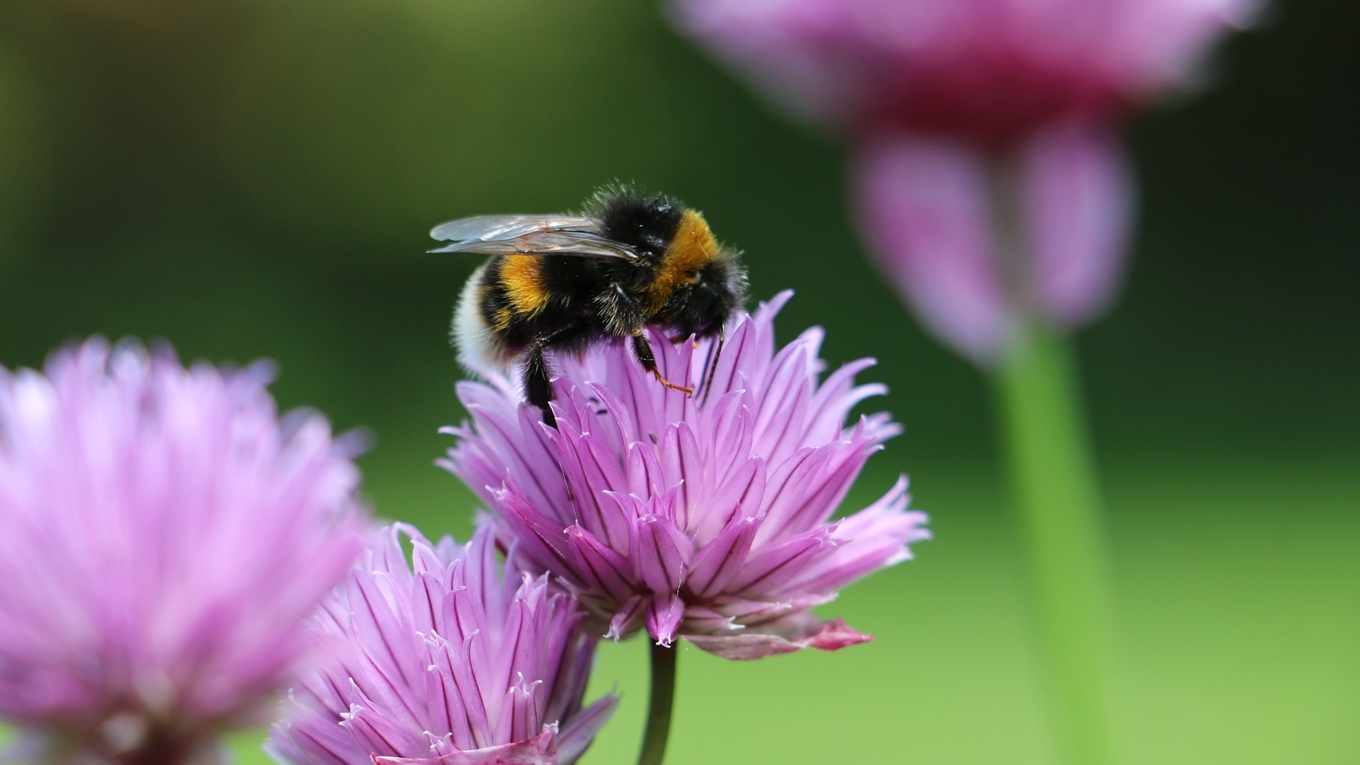 Attract Bees - Attract bumblebees - White tailed Bumblebee