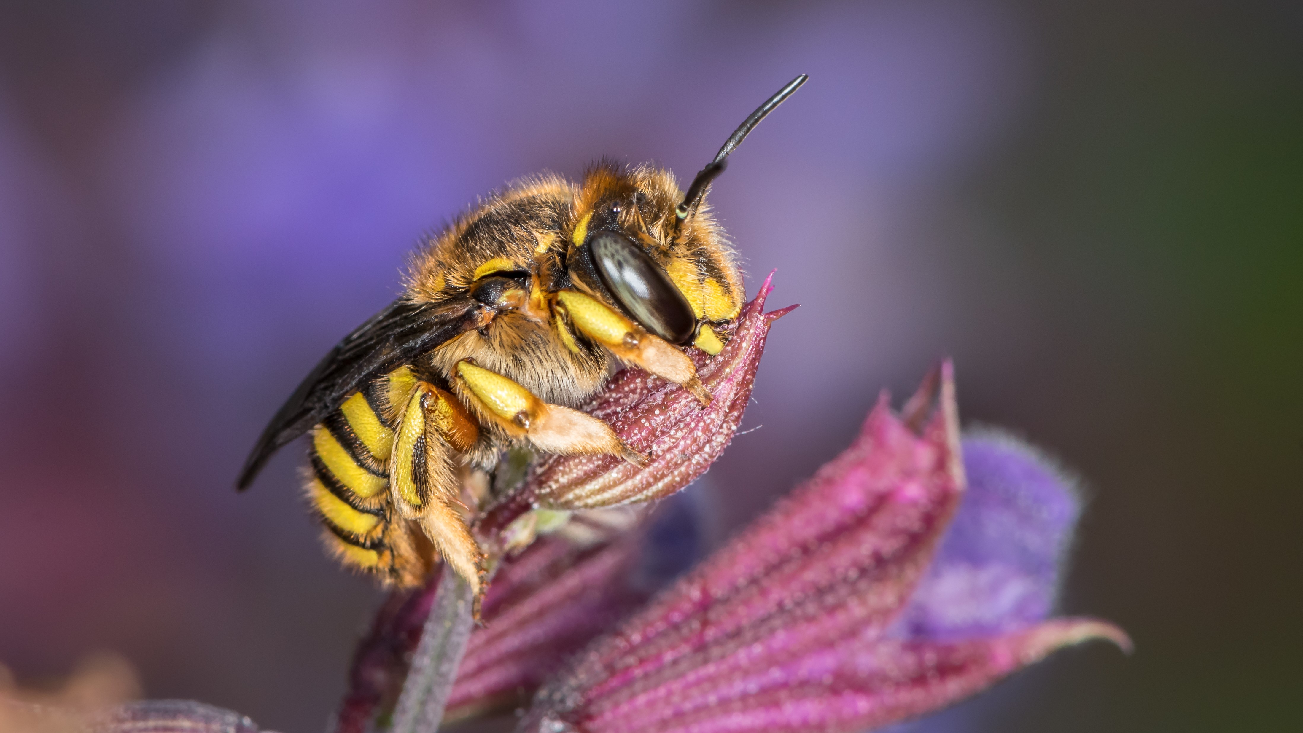 Attract Bees - Attract Mason bees - European wool carder bees