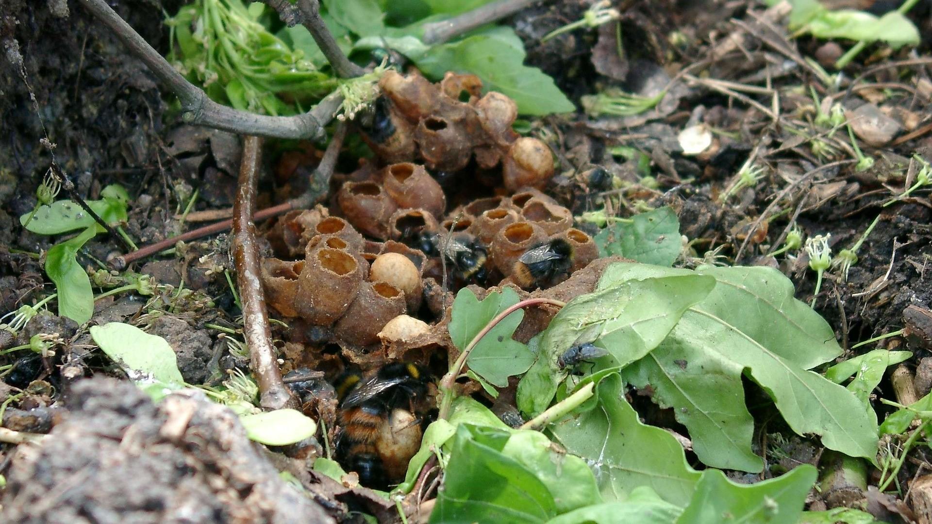 Attract Bees - Bumblebee nest