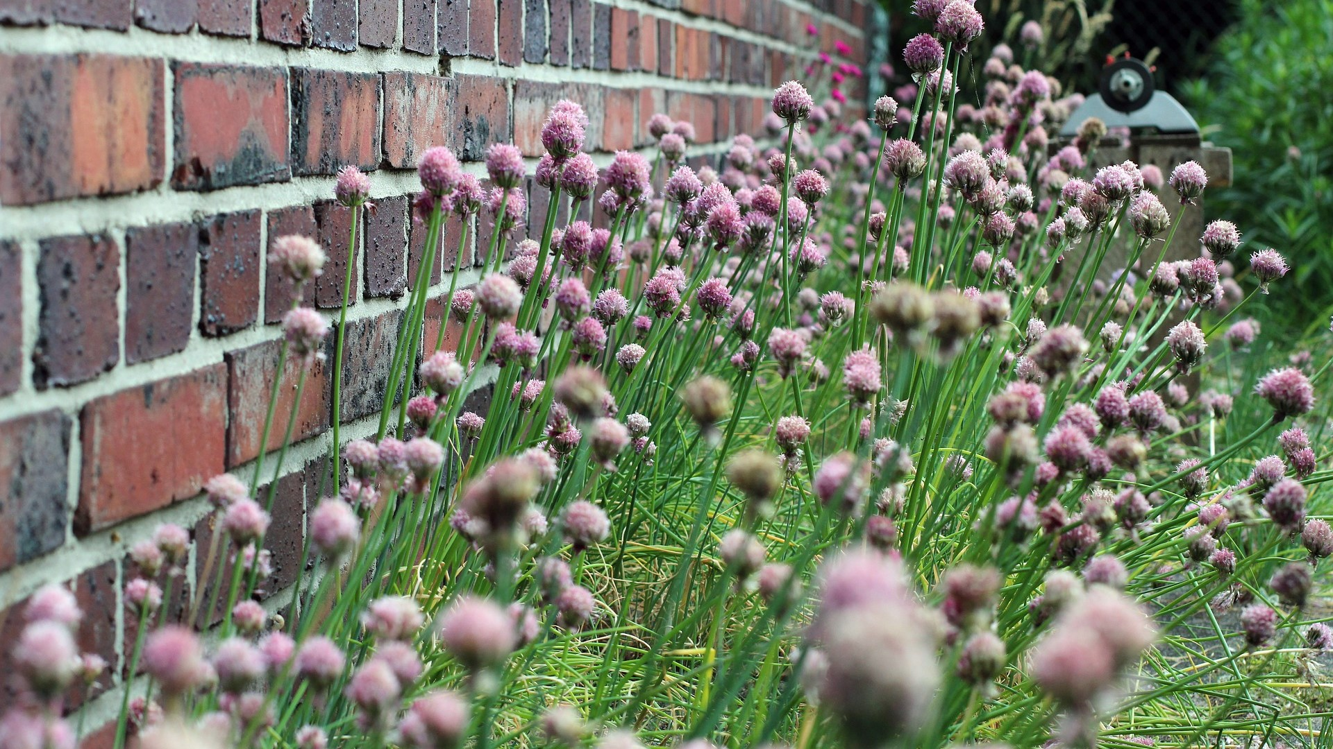 Attract Bees - flower - herbs - chives