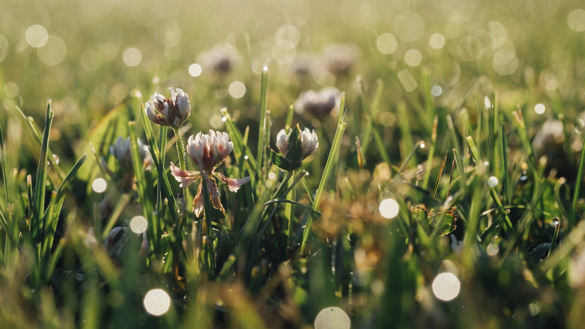 Attract Bees - flower - wildflowers - clover
