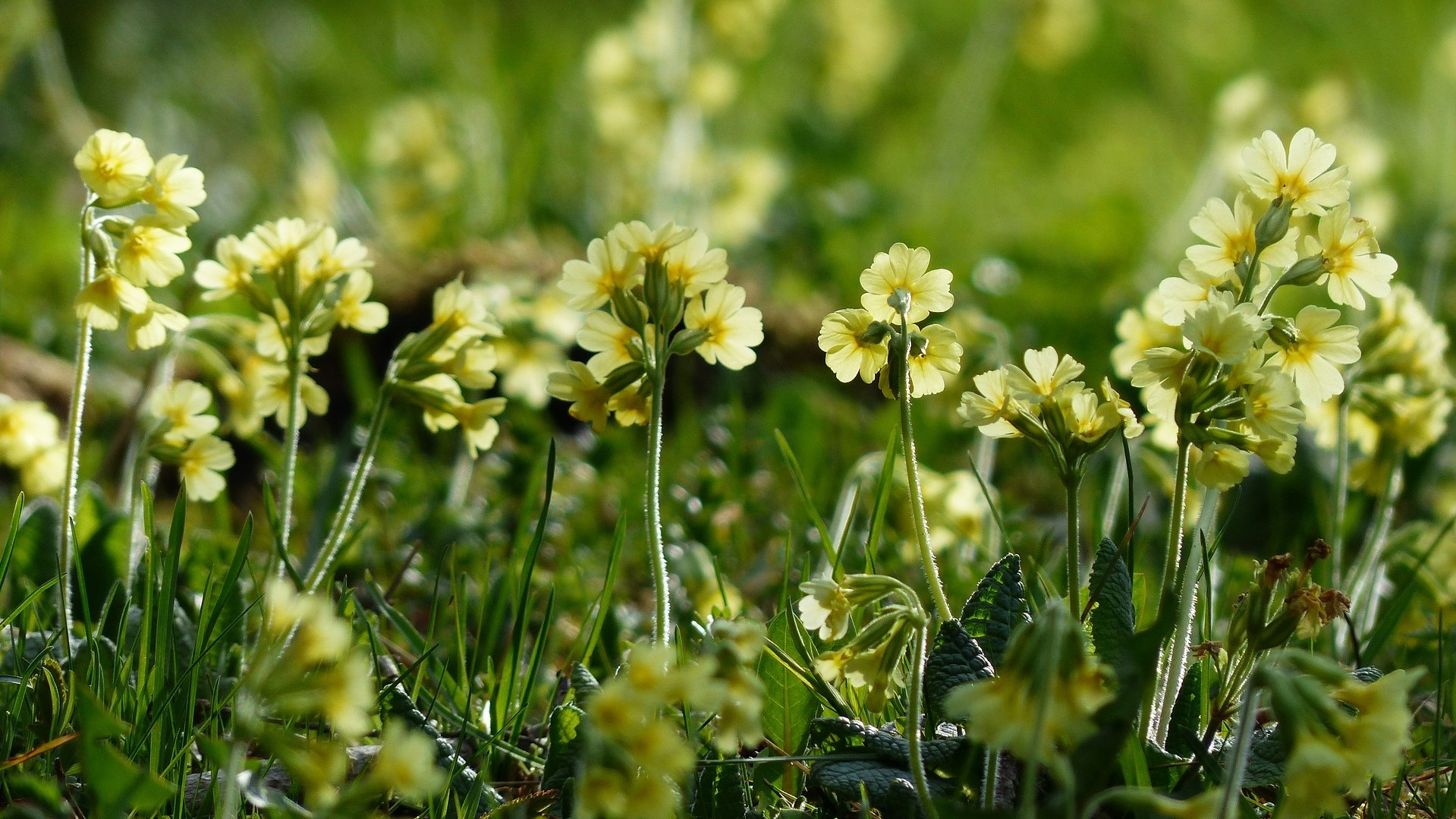 Attract Bees - flower - wildflowers - cowslip
