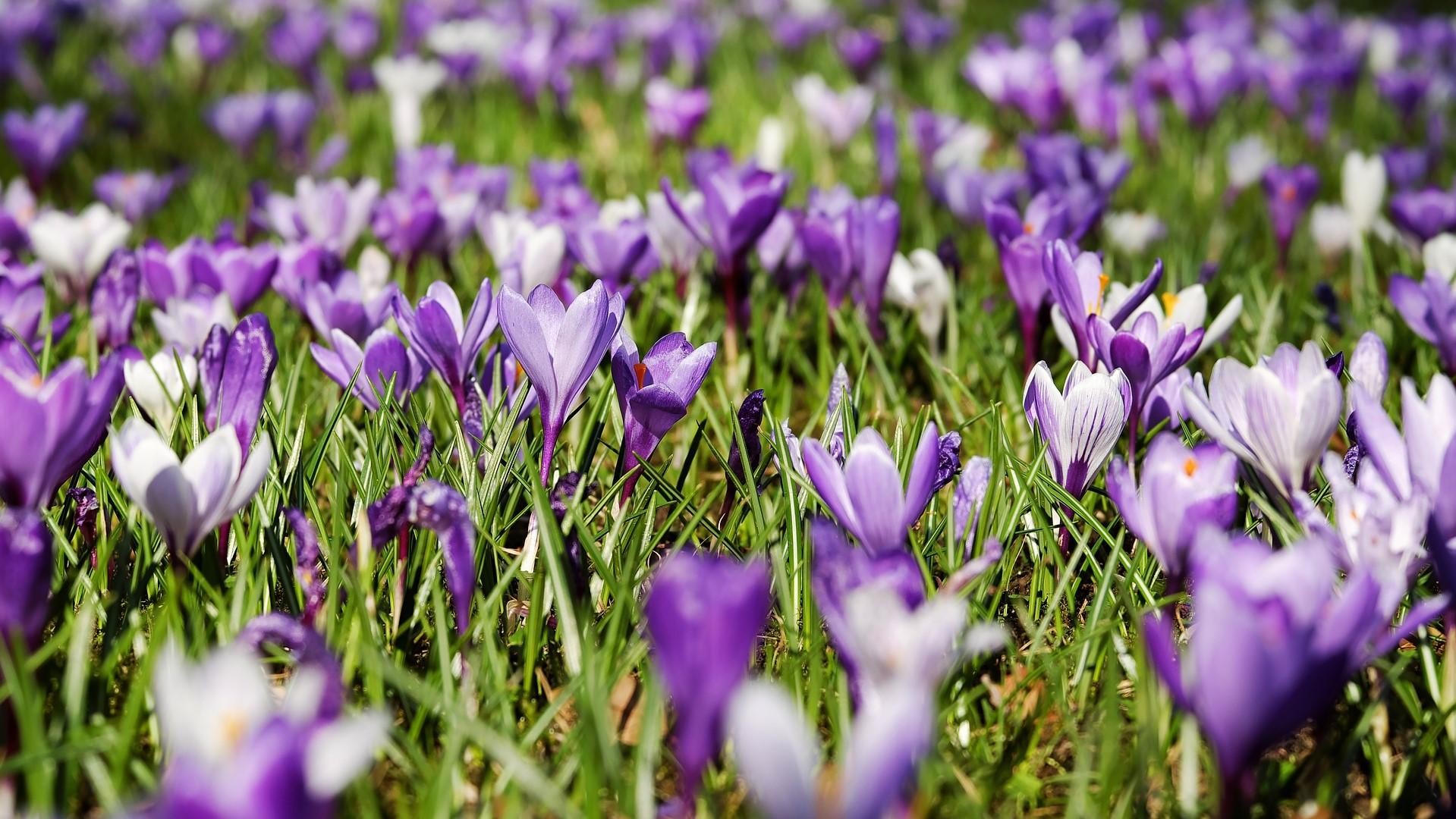 Attract Bees - flower - bedding plants - crocus