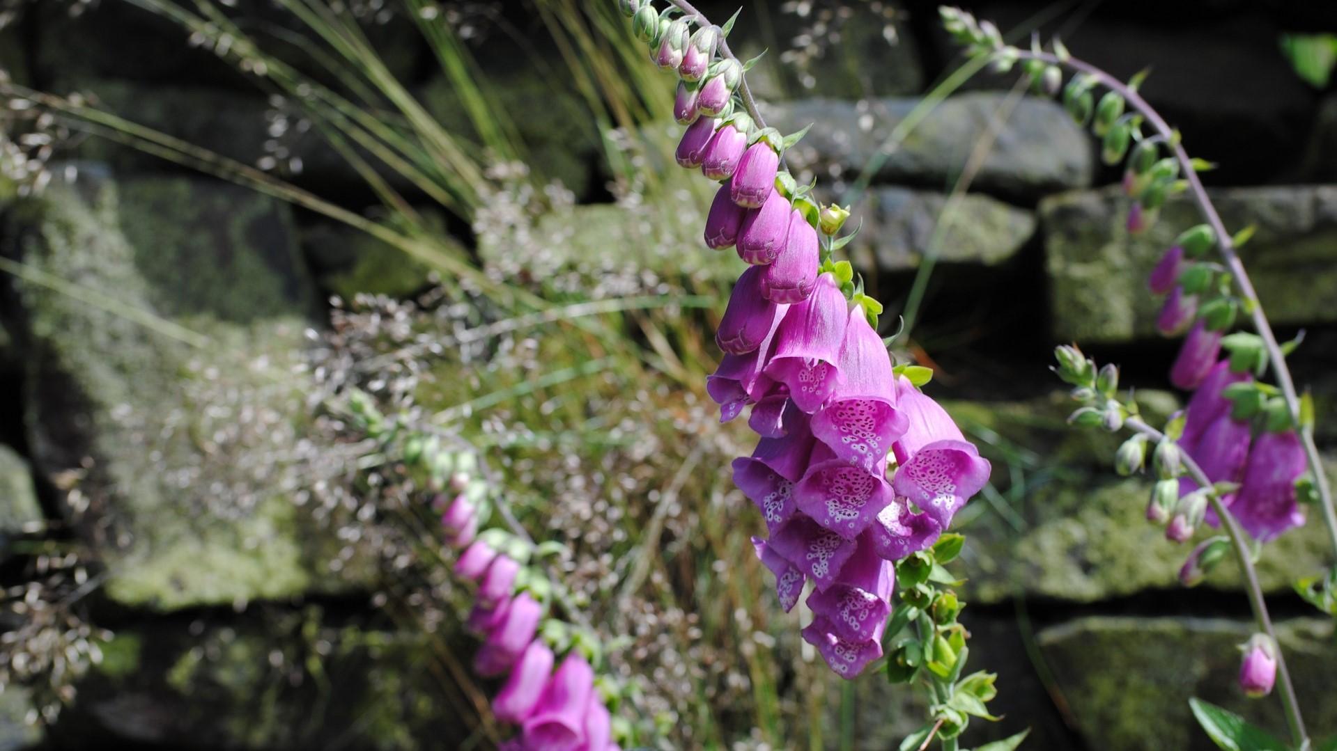 Attract Bees - flower - wildflower - hawthorn - foxglove