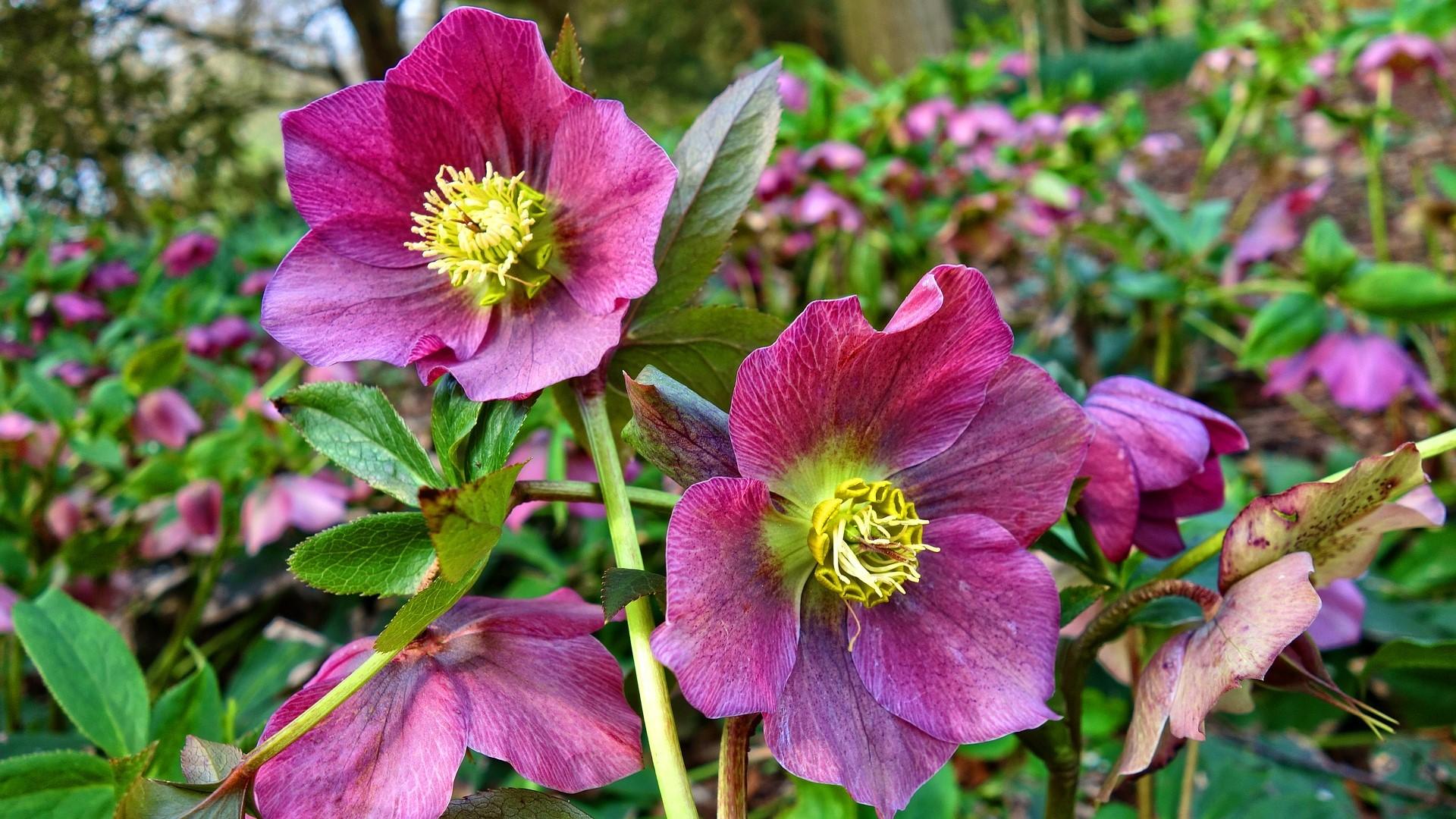 Attract Bees - flower - wildflower - hellebore