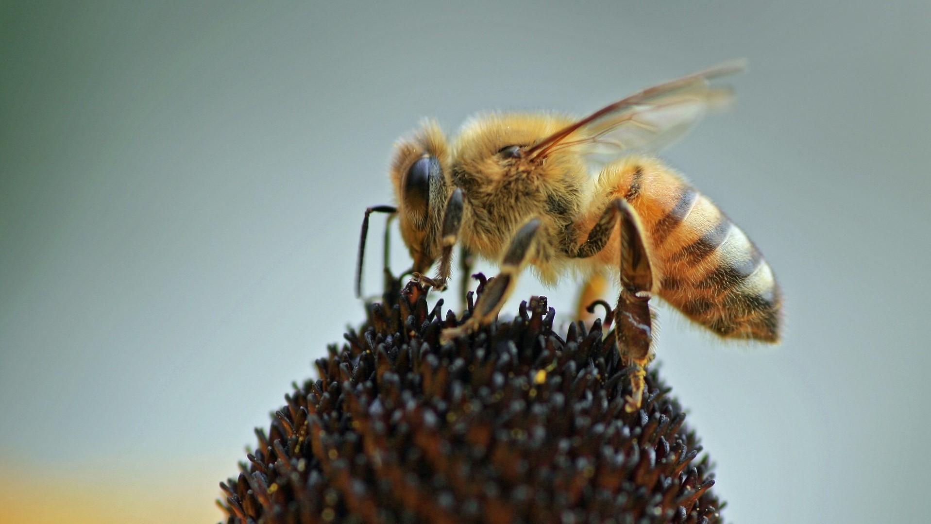 Attract Bees - Attract honey bees - honey bee