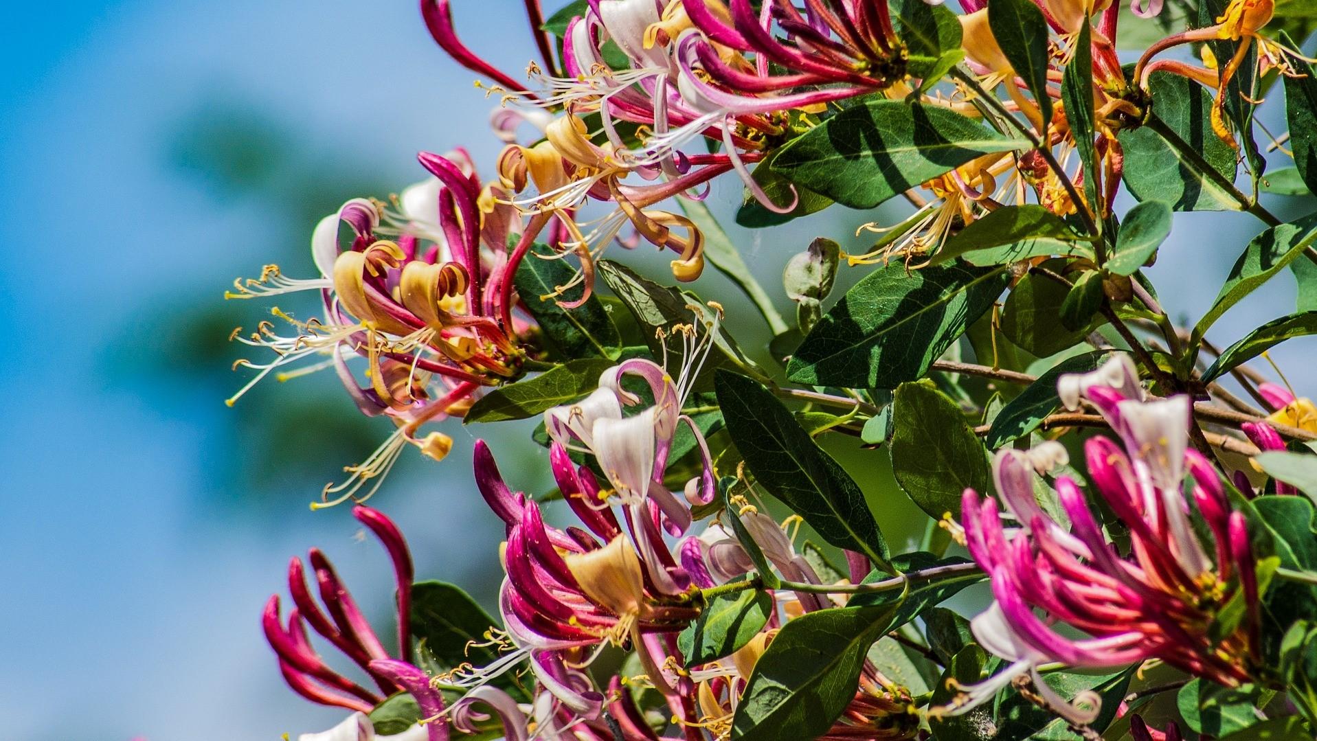 Attract Bees - flower - wildflower - honeysuckle