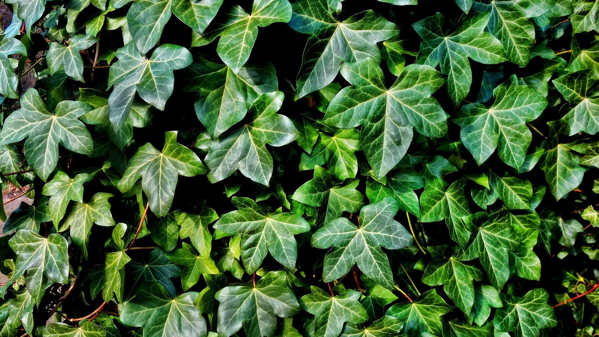 Attract Bees - flower - wildflower - ivy