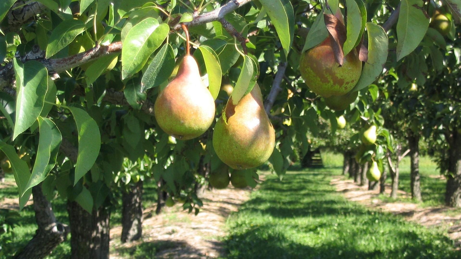 vAttract Bees - flower - fruit - pear tree