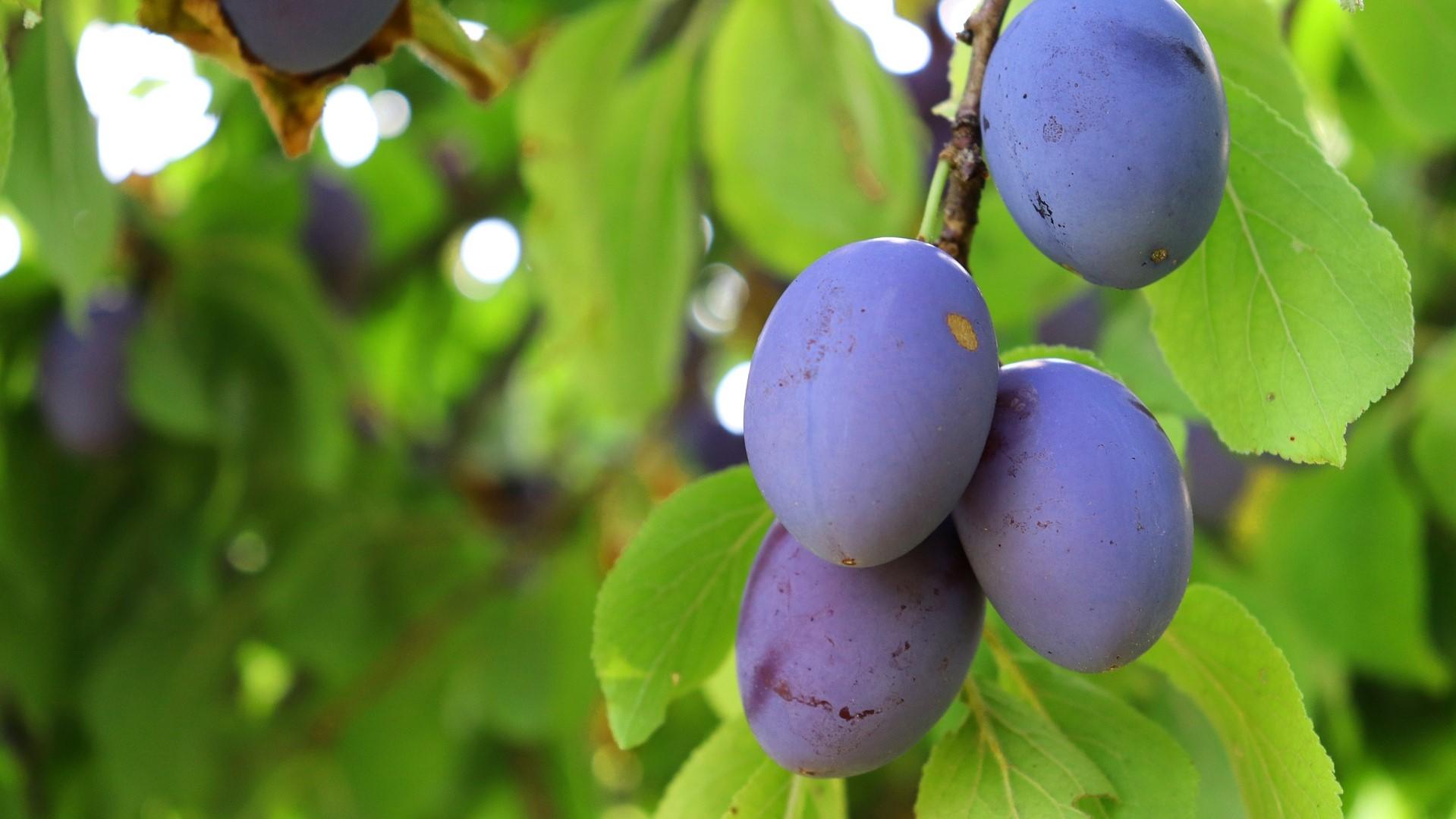 Attract Bees - flower - fruit - plum tree
