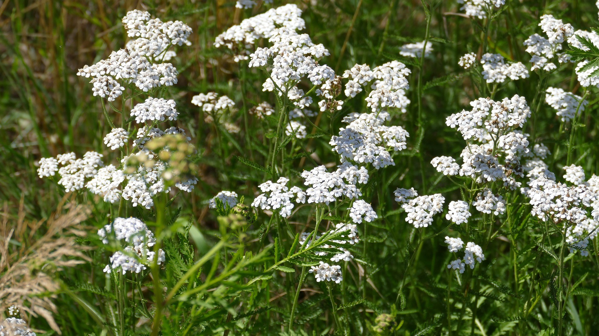 Attract Bees - flower - yarrow