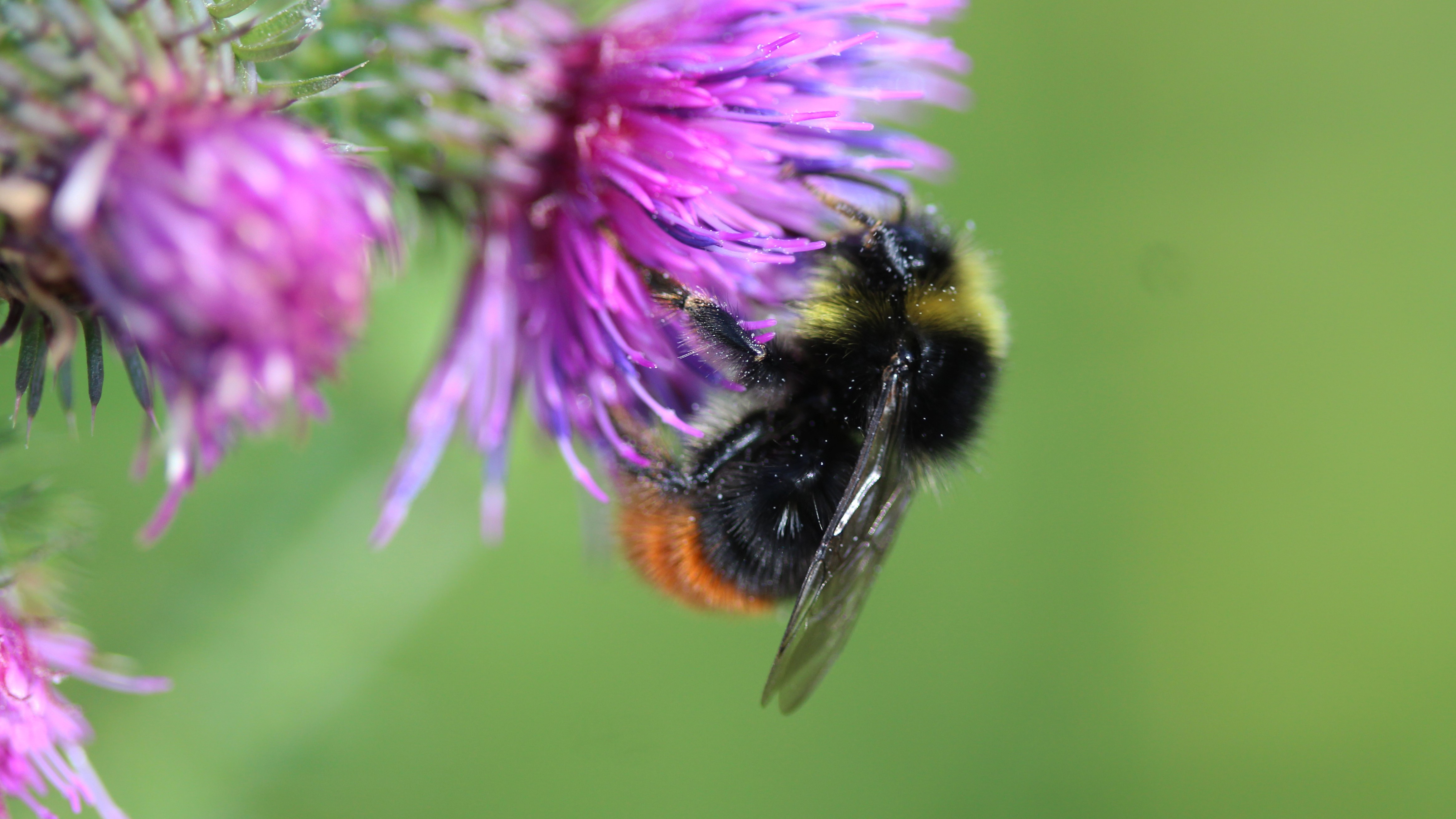 Attract Bees - Attract Bumblebees - Bumblebees -Early Bumblebee - Female