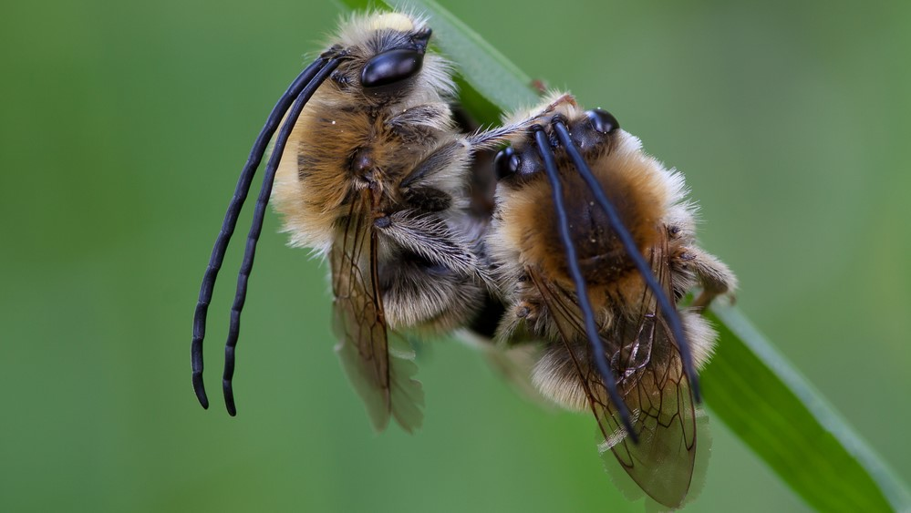 Attract Bees - Mining Bee - Long Horned Mining Bee