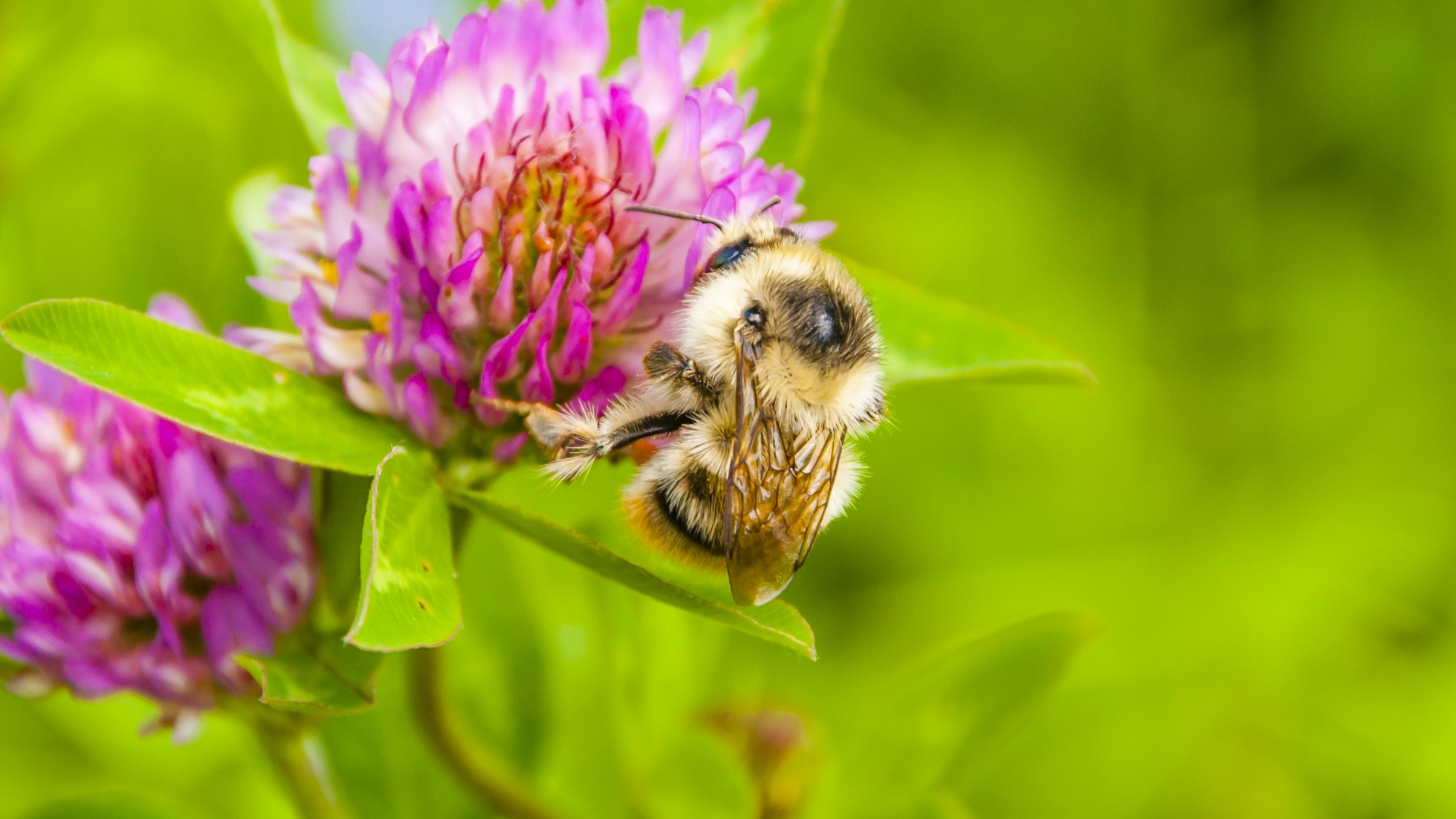 Attract Bees - Attract Bumblebee - Shrill Carder Bee