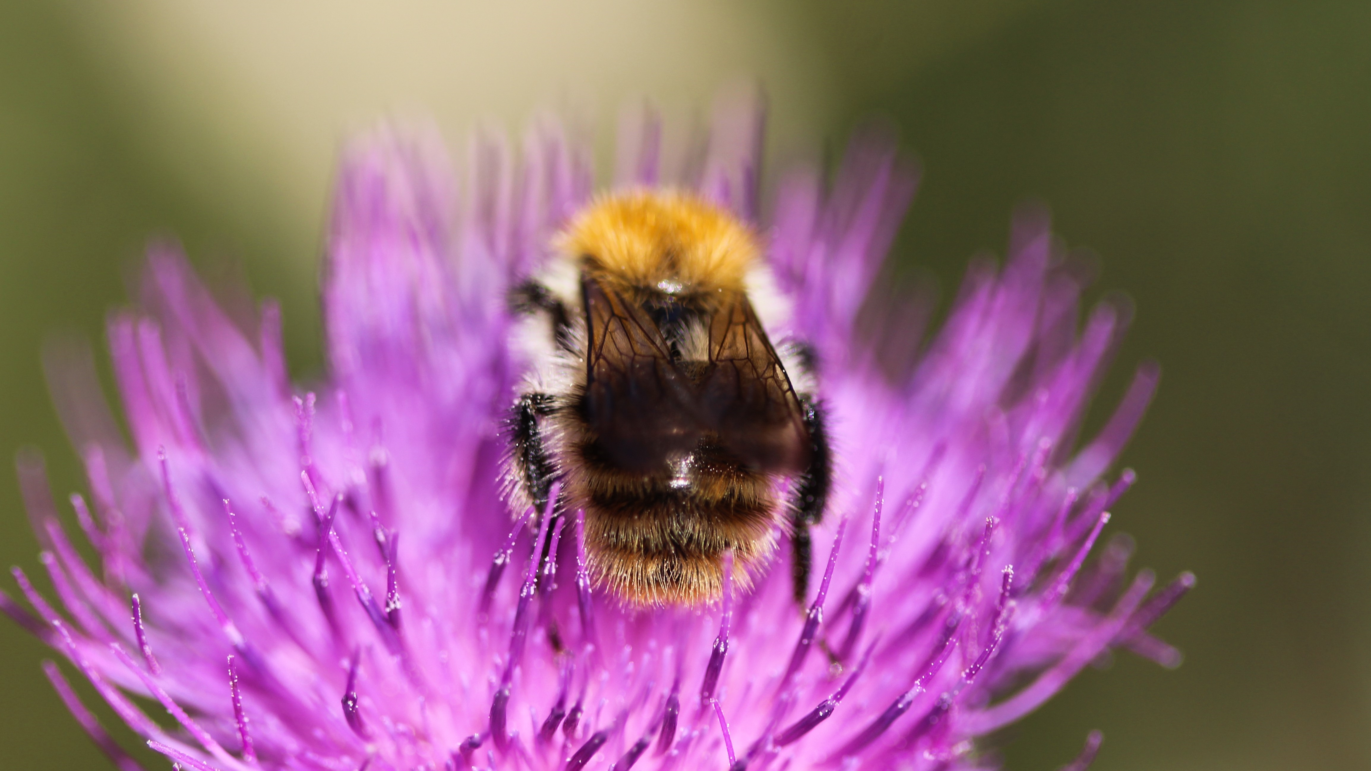 Attract Bees - Attract Bumblebees - Bumblebee - Brown-Banded Carder Bee
