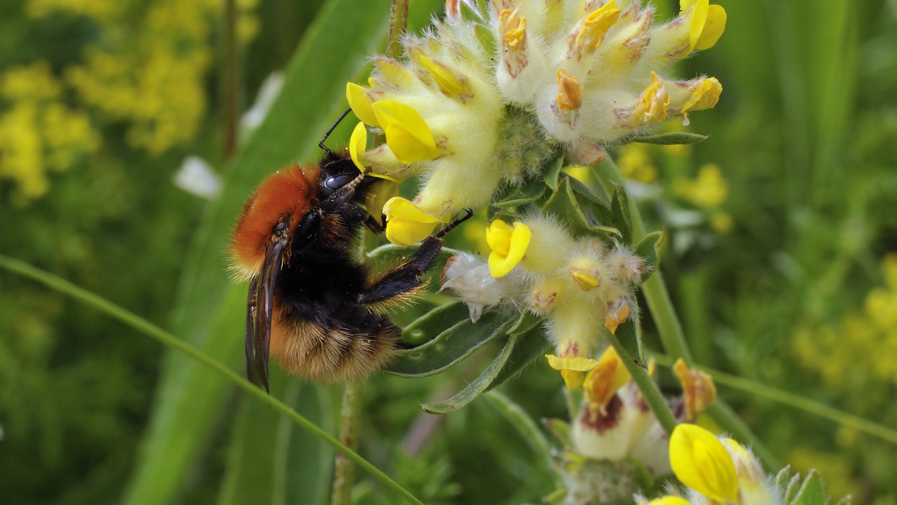 Attract Bees - Attract Bumblebees - Bumblebee - Moss Carder Bee