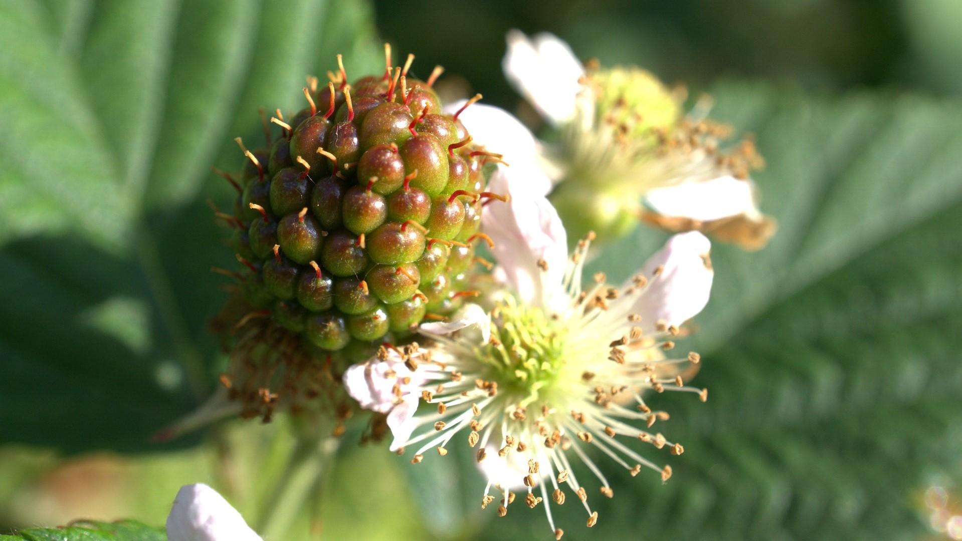 Attract Bees - blackberry