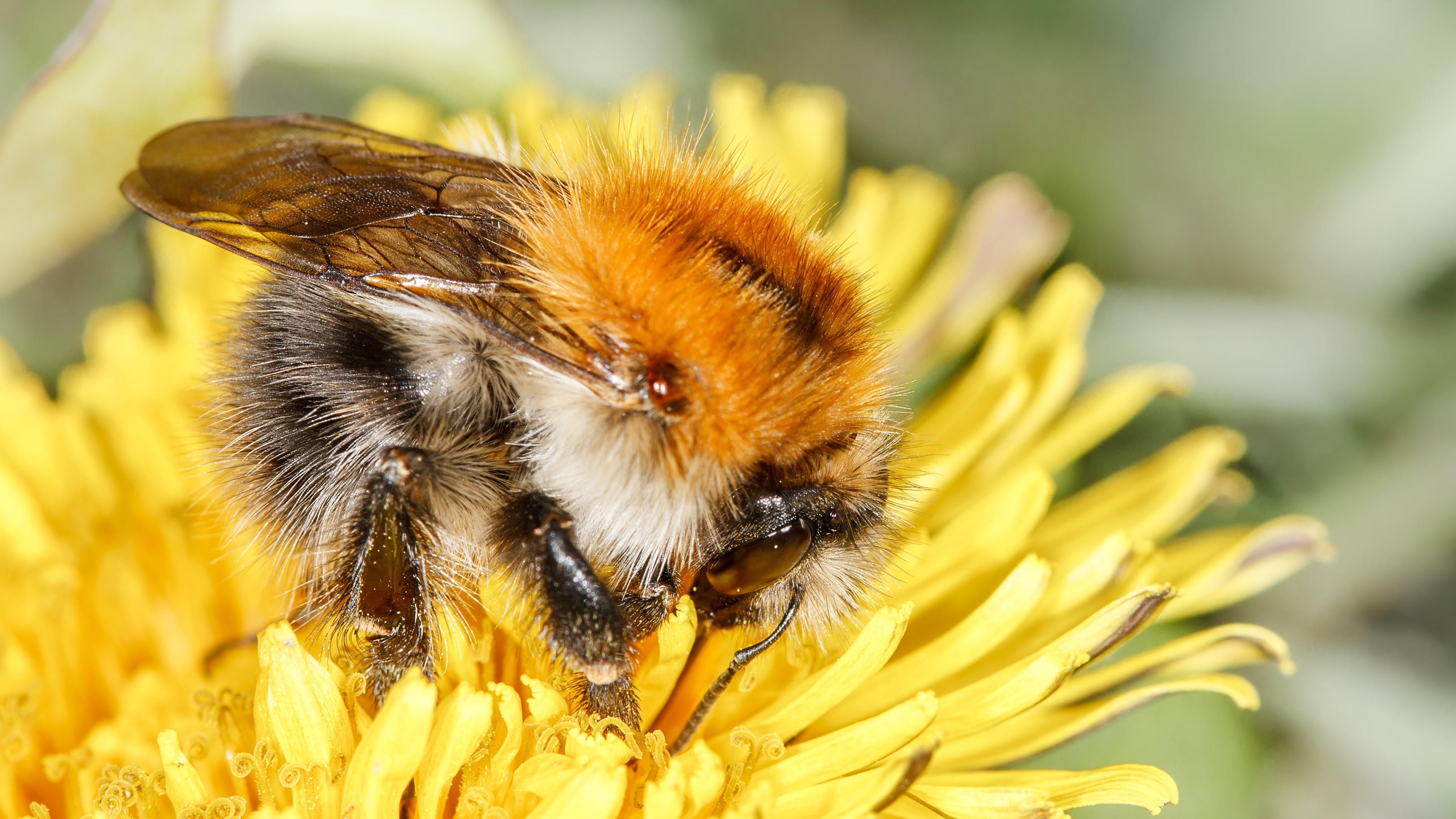 Attract Bees - Attract Bumblebees - Bumblebee - Common carder bee