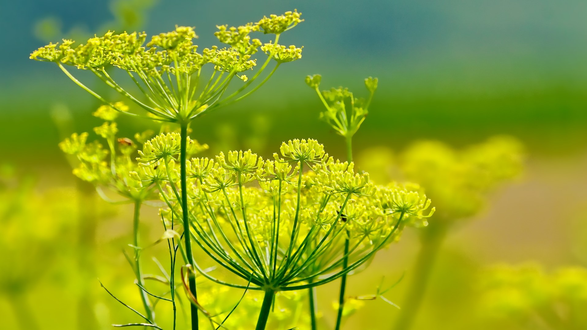 Attract Bees - fennel