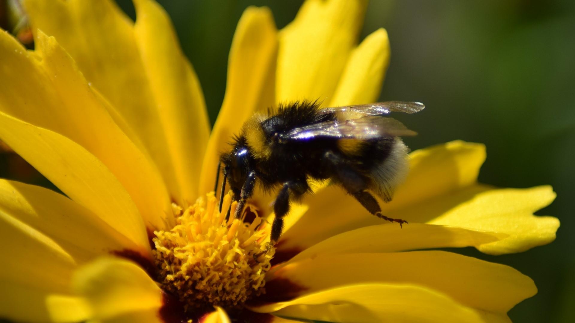 Garden Bumblebees - Attract Bees